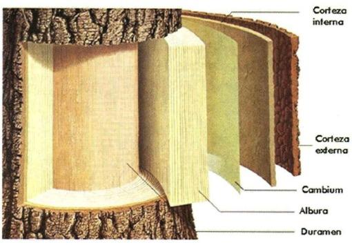 De donde viene la madera mueblecalidad for Cuales son las partes de un arbol