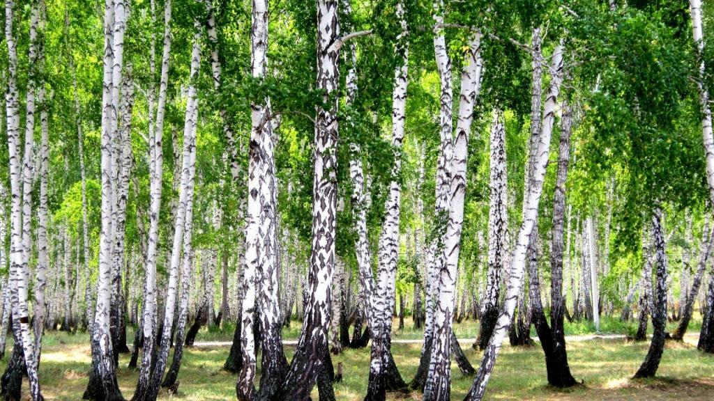 Birch Betulin and Suberin
